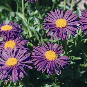 aster violet