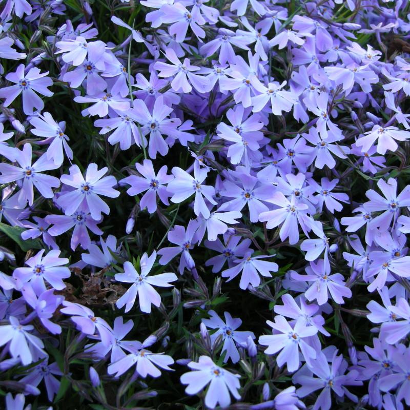 floks early spring lavender