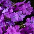 floks early spring purple