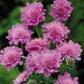 Drakiew kaukaska Diamond Pink3