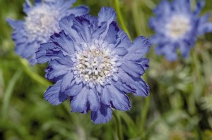 drakiew kaukaska Blue Note