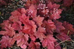 żurawka autumn leaves