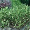 bambus variegatus.1jpg