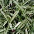 bambus variegatus.2jpg