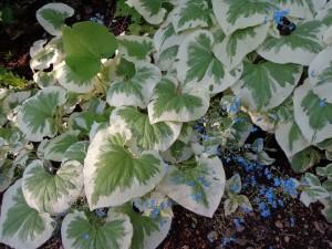 brunnera variegata