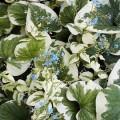 brunnera variegata4