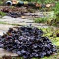 dabrówka rozłogowa black scallop