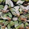dabrowka rozlogowa mahogany1