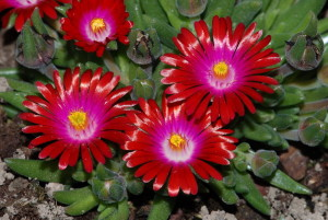 delosperma-jewel-of-desert-garnet-
