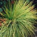 kostrzewa golden touppe