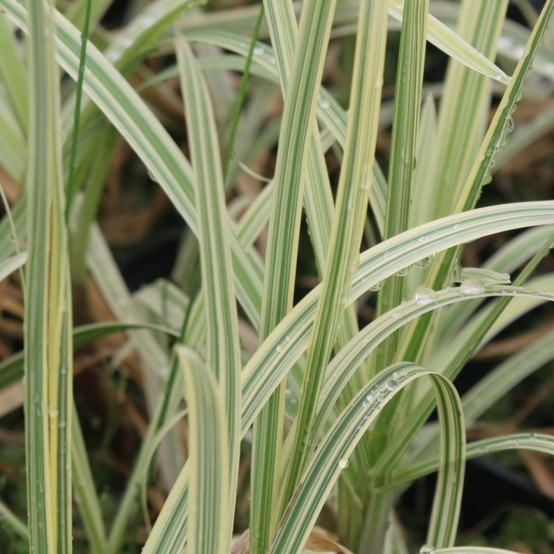 manna mielec  variegata