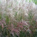 miscanthus-sinensis-grosse-fontaine