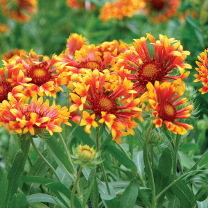 Gaillardia-france wheleer-4