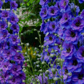ostrozka exalibur Dark-blue-black-bee12